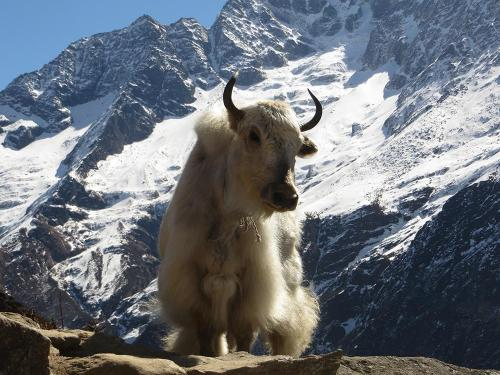 Everest Region. Yak