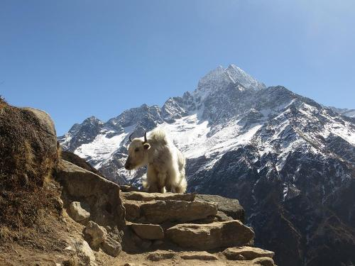 Everest Region Yak