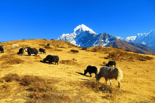 Everest Region. Yak Farm and Thamserku