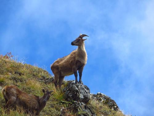 Everest Region. Wild goat